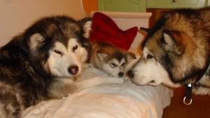 Meidän perheen omat koirat Windy, Timmy ja Handy