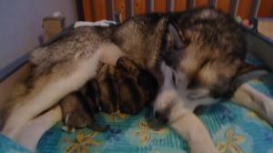 Väsynyt SIiri eilen seitsemän pennun synnyttyä