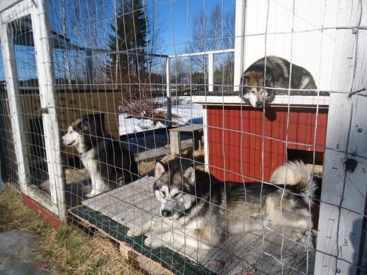 Isot koirat tarkkailevat... Siiri lenkillä...