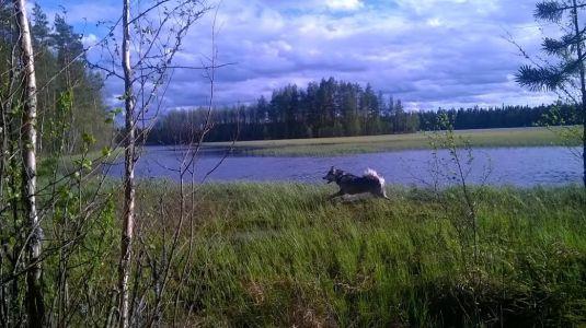 ja Timmy nauttii soisesta järven rannasta :)