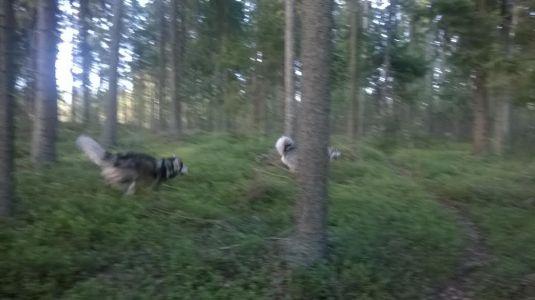 metsässä ravaamassa