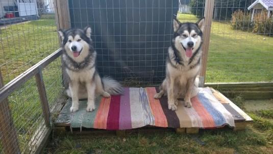 Matti on tapansa mukaan laittanut koirien häkille kivan maton makoilutasanteelle, jotta koirilla on kivempaa :)
